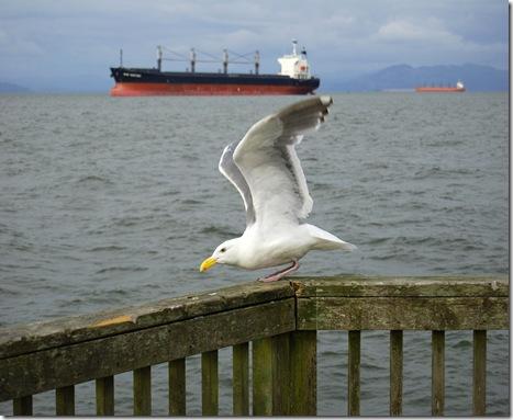 DSC_2189 Gull